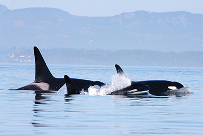Orcas Live in Oceans